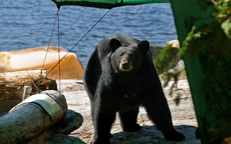 Keeping-Bears-at Bay