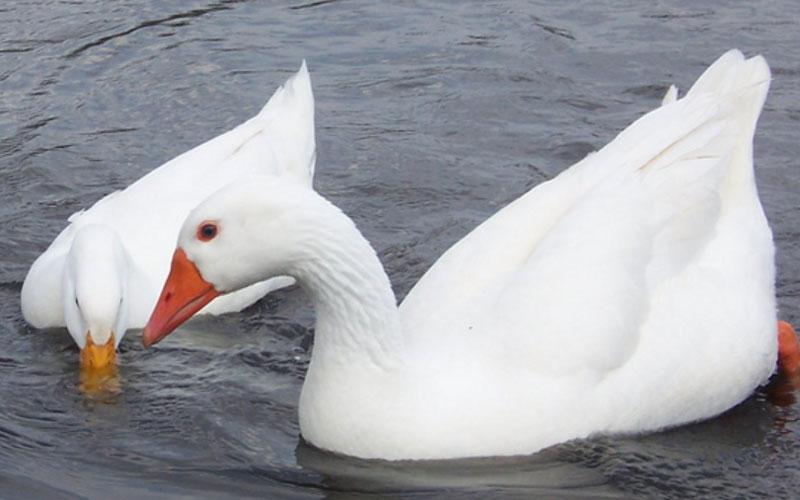 Duck-vs-Goose-Down