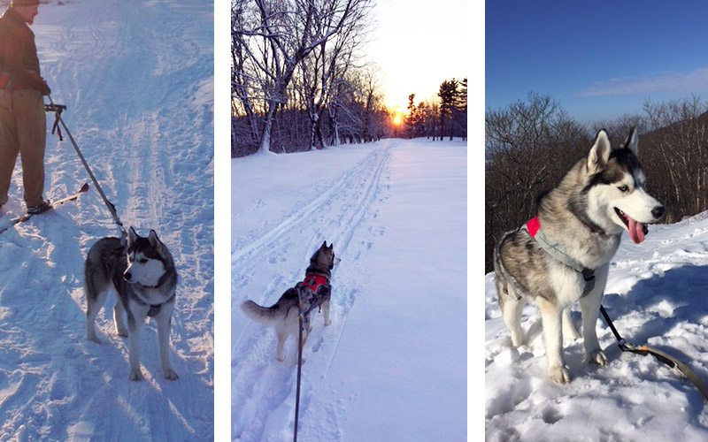 skiing with dogs, an introduction to skijoring