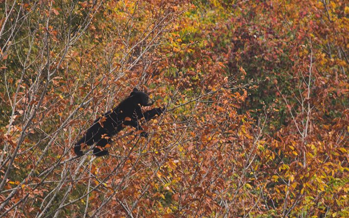A bear cub climbs a tree in White Mountain National Forest.