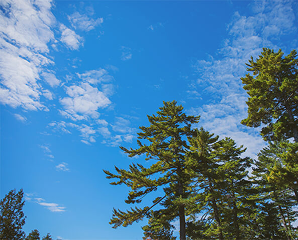 blue skies and large pine trees in Maine's North Woods