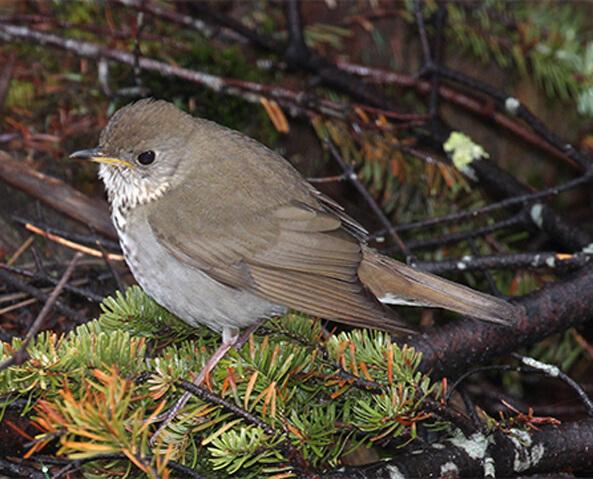 Bicknell's Thrush bird