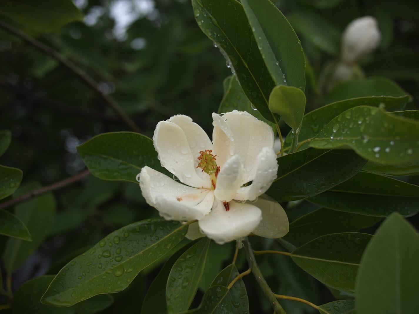 Magnolia blooms.