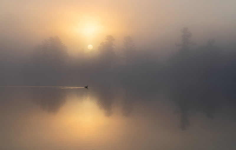 'Lone Canada Goose in the Morning Mist'