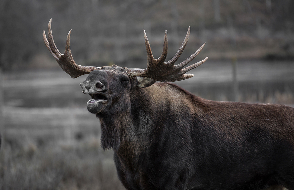 how to see a moose