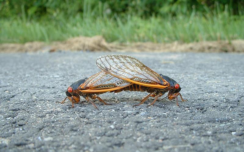 brood x cicadas